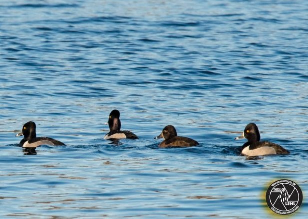 ring-necked-ducks